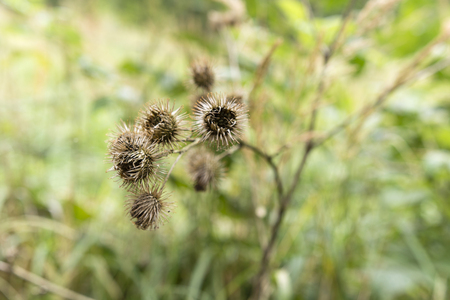 testicles: dry seed heads Greater burdock Stock Photo