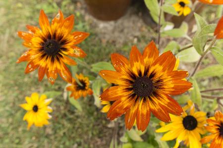 Arnica: arnica orange flowers