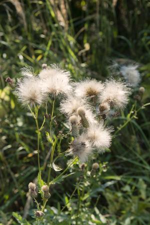fluff: Pelusa del cardo en el sol de la tarde