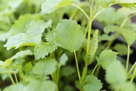 masquerading: Greenery masking caterpillar on a plant stem herb lemon balm