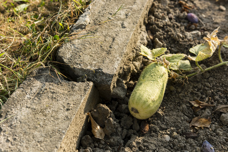 curb: cucumber growing next to a broken curb on dirt