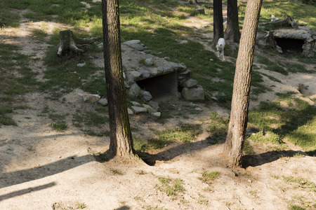 artificially: wolf dens artificially created and a wolf in the background