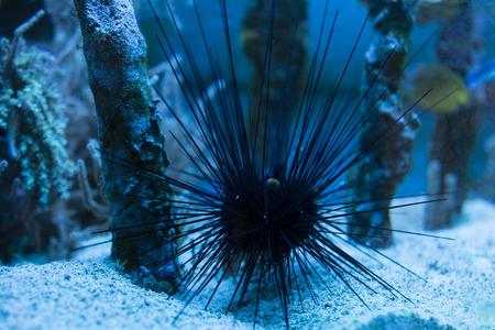 urchin: urchin tiara in the aquarium Stock Photo