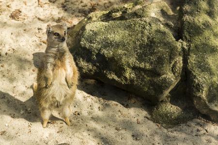 legs around: Yellow Mongoose Rear looking around