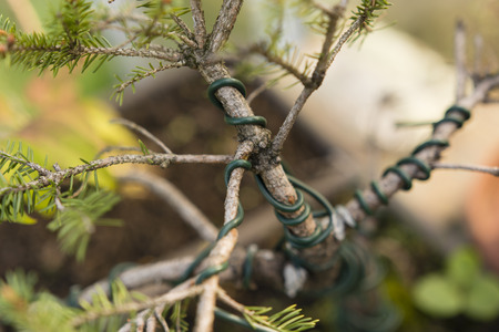 tree position: bandaged twig wire bending bonsai
