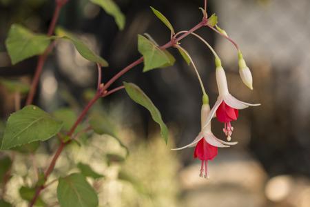 flores fucsia: fuchsia flowers