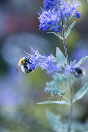 gentleness: Caryopteris blue flowers and a bumblebee Stock Photo