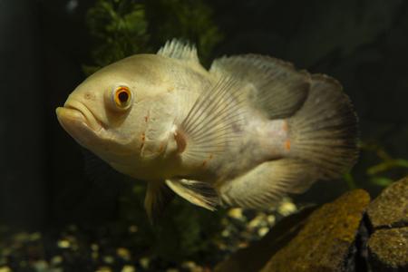 ocellatus: Astronotus ocellatus, big fish aquarium white