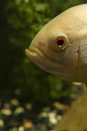 astronotus: Astronotus ocellatus, big fish aquarium white