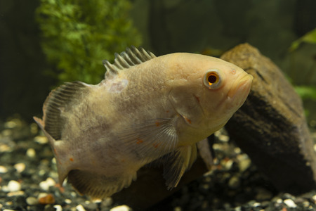 Astronotus ocellatus, big fish aquarium white