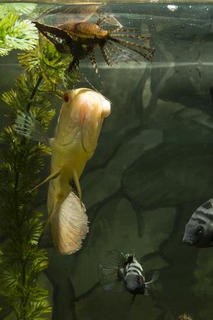 astronotus: Astronotus ocellatus, big fish aquarium white, freshwater butterflyfish, Pantodon Buchholz