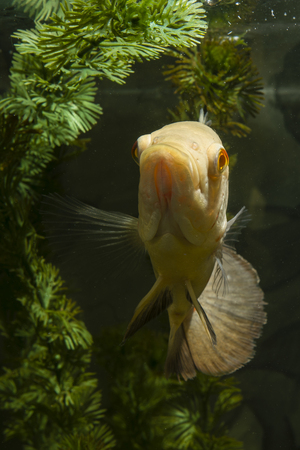 astronotus: Astronotus ocellatus, big fish aquarium white