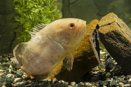 astronotus: Astronotus ocellatus, big fish aquarium white, Amatitlania nigrofasciata fish pouting