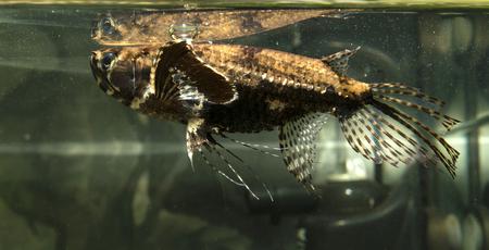 butterflyfish: Freshwater butterflyfish, Pantodon Buchholz