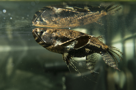 freshwater: Freshwater butterflyfish, Pantodon Buchholz