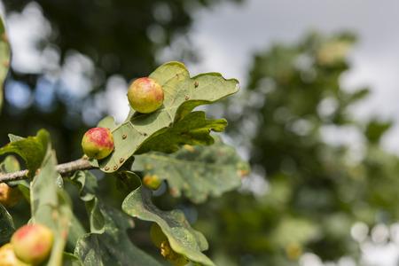 lupulus: Humulus lupulus - hop rotary