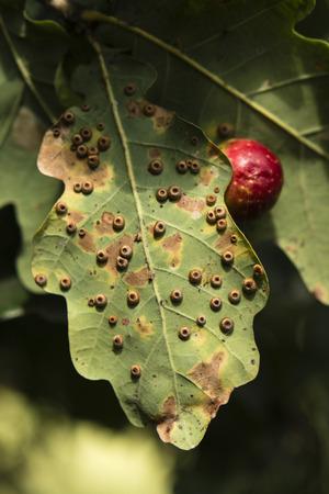 humulus lupulus: Humulus lupulus - hop rotary