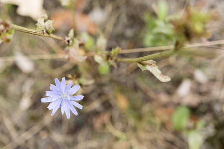 subtlety: flower chicory