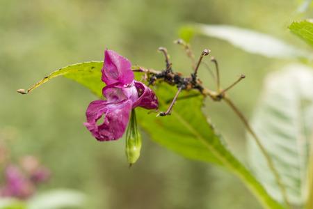 balsam: Himalayan balsam flower - Impatiens glandulifera Stock Photo
