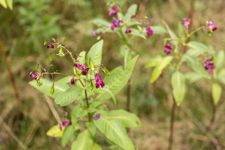 impatiens: Himalayan balsam flower - Impatiens glandulifera Stock Photo