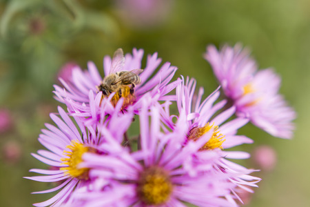 crawly: bee feeding on flowers asters