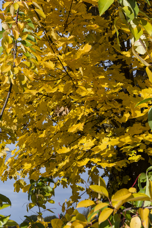 greenish blue: maple leaves in autumn colors on a tree