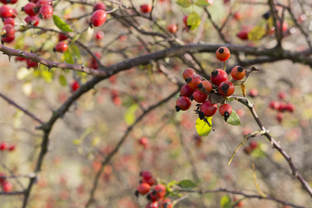 briar bush: fruits wild roses on the plant