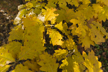 subtlety: oak leaves in autumn colors on a tree