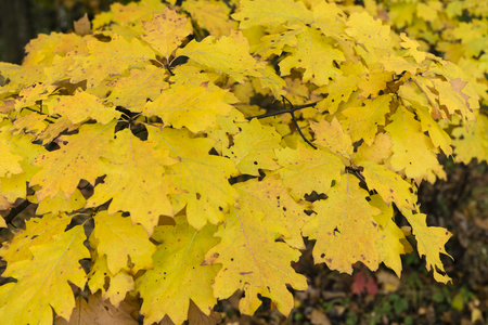 autumn color: autumn color oak leaves on a tree in the woods