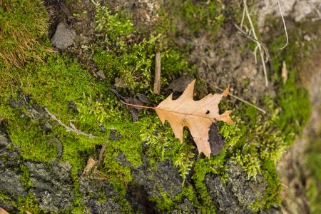 tree stump: dry fallen oak leaf on a tree stump moss