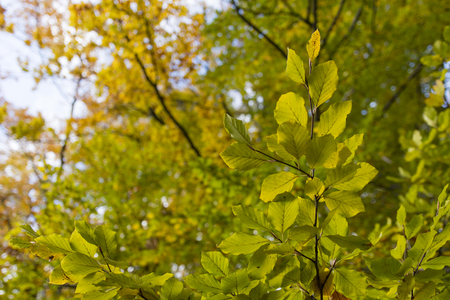 treetops: beech leaves in autumn colors