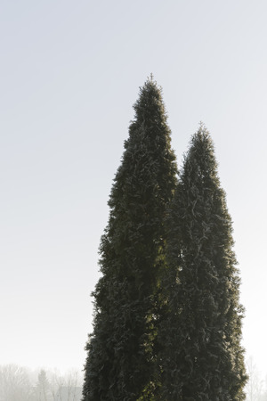 thuja occidentalis: white cedar Thuja occidentalis high two in the morning frost