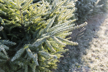 spruce: Spruce needles in morning frost