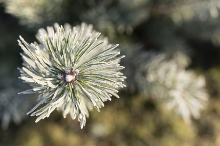 frosty morning: pine needles with frosty morning Stock Photo