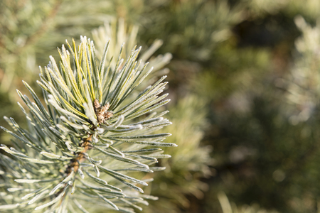 pine needles with frosty morning 스톡 콘텐츠