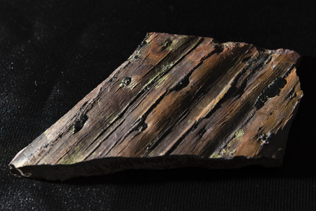 fossilized: fossilized tree bark Clubmoss part