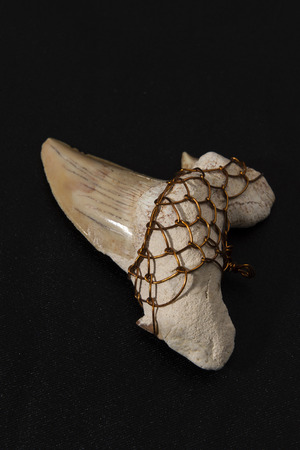 fossilized: large fossilized shark tooth wrapped wire for hanging Stock Photo