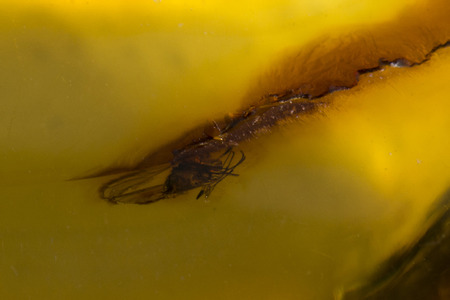 primordial: insects trapped in amber Stock Photo