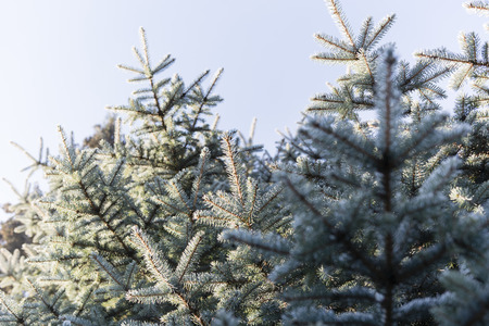 spruce: Silver Spruce with morning frost
