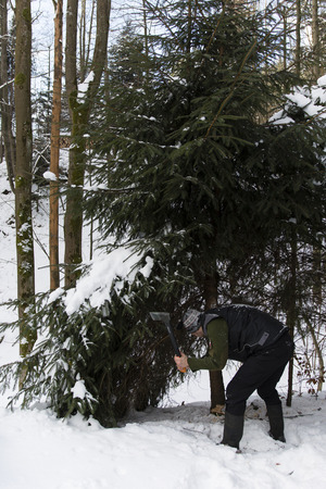 close ups: Felling spruce tree in winter with your ax