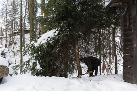 felling: Felling spruce tree in winter with your ax