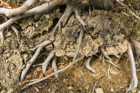 revealed: Revealed the roots in the ground in the woods with dirt and stones Stock Photo