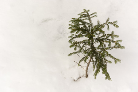 spruce tree: abandoned white spruce tree in the snow Stock Photo