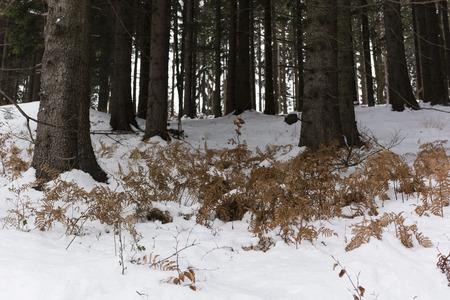 helechos: helechos secos en el bosque en invierno