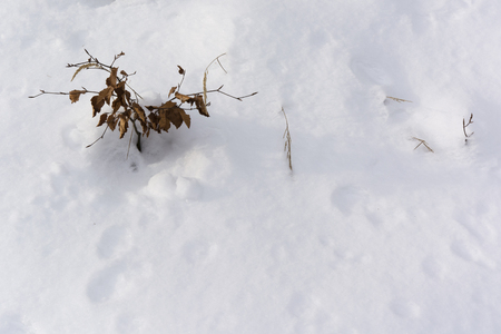 peppered: small beech tree with dry leaves in the snow