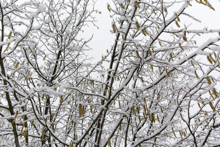 hazel tree: hazel tree in winter with snow and ice