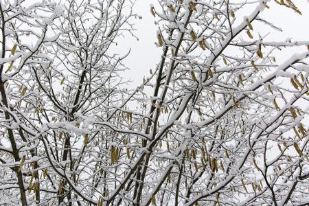 albero nocciola: nocciolo in inverno con neve e ghiaccio Archivio Fotografico