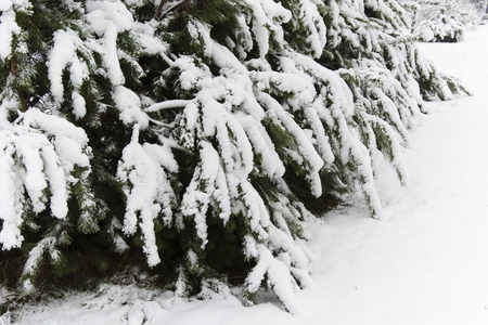 heavy snow: snowy pine trees with heavy snow and bent branches