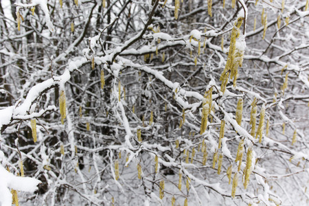 hazel: Hazel tree with flowers covered in snow