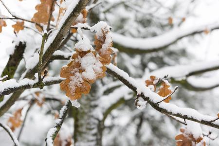 hojas secas: árbol de roble con hojas secas cubiertas de nieve